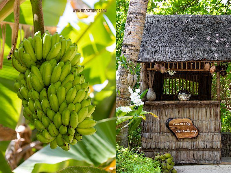Bananenstaude auf den Malediven Bananen und Coconut Hut